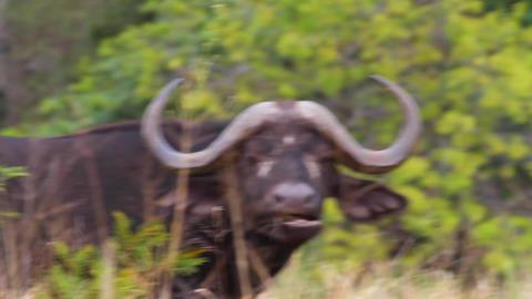 a medium overhead shot of 2 african buffalo feedin Footage