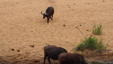a baboon scurries away while a family of 5 elephan Stock Video Footage