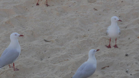 a group of bondi beach sea birds Footage