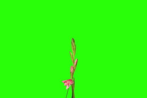 4K. Blooming pink gladiolus flower buds green scre Stock Video Footage