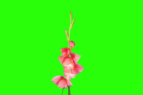 4K. Blooming pink gladiolus flower buds green scre Footage