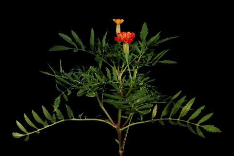4K. Blooming orange tagetes flower buds ALPHA matt Footage