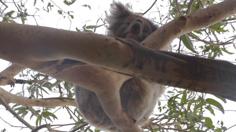 3 angles of a koala on grey road - great ocean roa Stock Video Footage