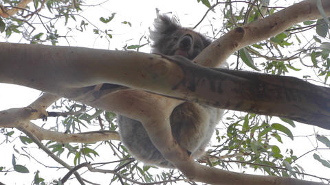 3 angles of a koala on grey road - great ocean roa Footage