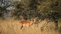 Feeding impala antelope Footage