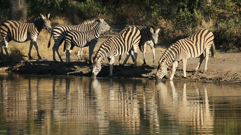 Plains Zebras at waterhole Stock Video Footage