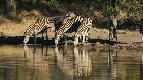 Plains Zebras at waterhole Footage