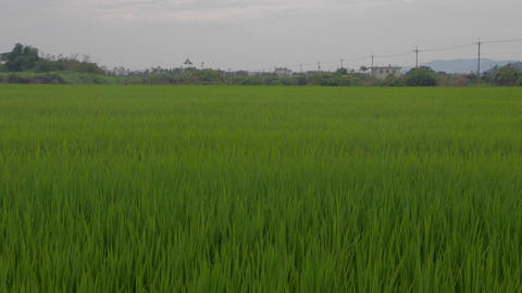 dancing grass in Yilan - closer Stock Video Footage