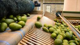 Avocados rolling in linepack Footage