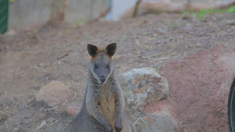 Cute wallaby eats in front of the camera Footage