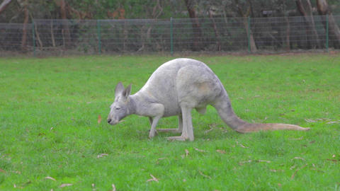 a white kangaroo eating some grass Footage