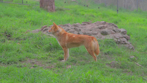 a cleland national park dingo looks straight as se Stock Video Footage