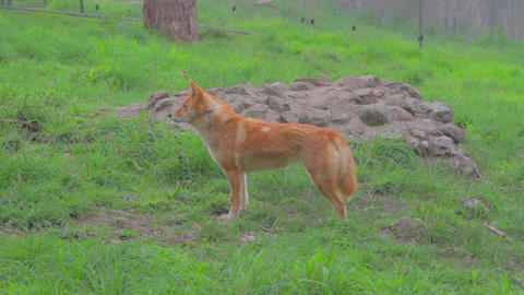a cleland national park dingo looks straight as se Footage
