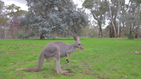 white kangaroo looks at the camera before hopping  Footage