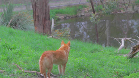 a cleland national park dingo stares at the birds  Footage