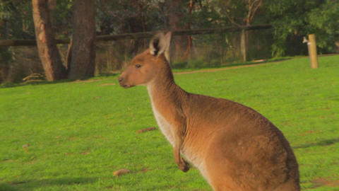 a cute red brown kangaroo with interesting hairsty Live影片