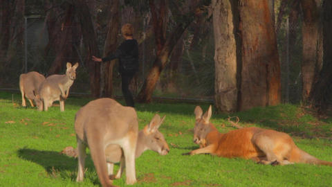 a group of kangaroos enjoy some getting some sun Stock Video Footage
