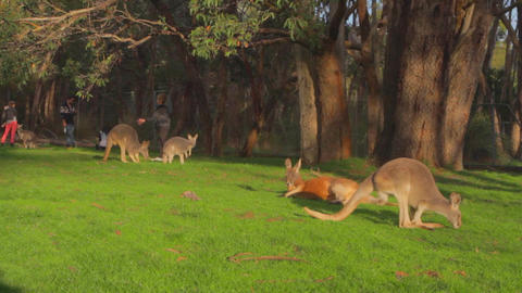 a group of kangaroos enjoy some getting some sun Footage