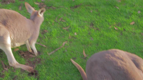 close overhead angle of two white kangaroos Footage