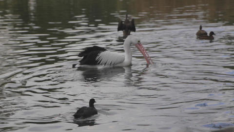 a pelican type bird swims with some other birds an Live Action