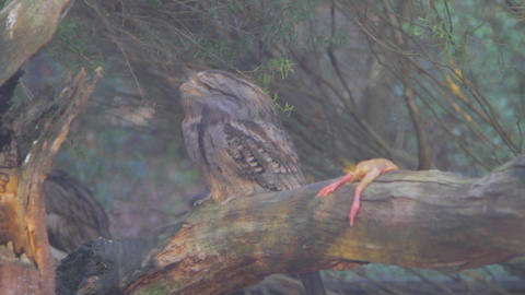 an owl looks up at the sky with a dead frog beside Stock Video Footage