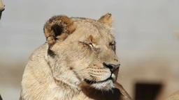 African lion portrait Footage