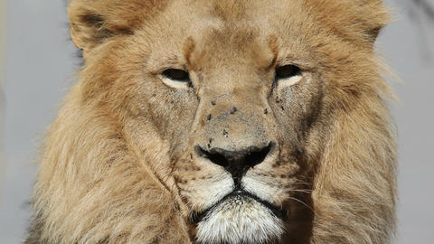 African lion portrait Stock Video Footage