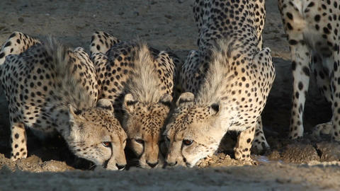 Cheetahs drinking water Footage