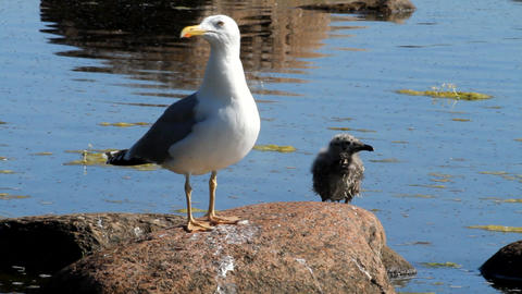 seagull with a baby bird on a stone in a colony of Footage