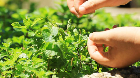 Pick Fresh Kitchen Mint Leaves From The Tree stock footage