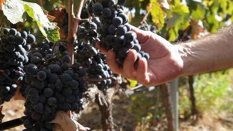 Vineyard grapes Footage