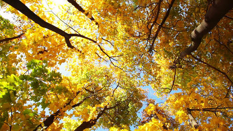 Look Up in the Autumn Forest Footage