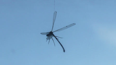 Dragonfly hanging on a spider thread on blue sky b Footage