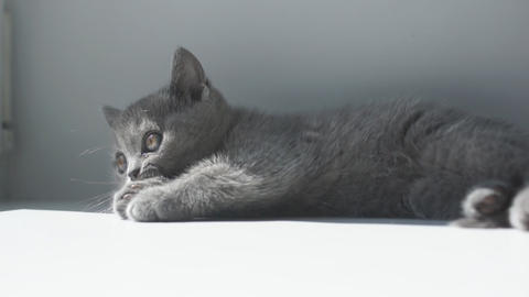 Cute Gray Kitten Playing stock footage
