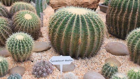 HD DOLLY:cactus garden Stock Video Footage