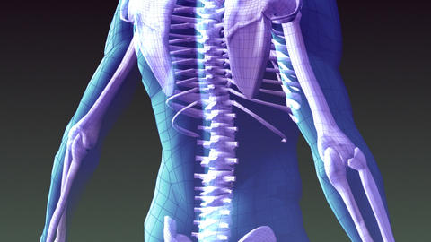 Xray animation of Human Skeleton Animation