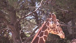 Giraffe Headshot stock footage