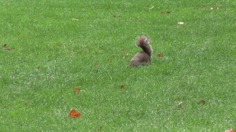 Squirrel in a Park Stock Video Footage