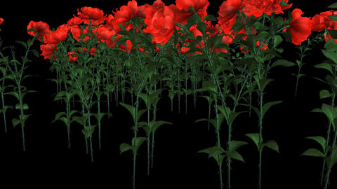 Red Roses in Bloom Stock Video Footage