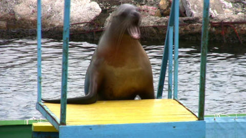 fur seal Stock Video Footage