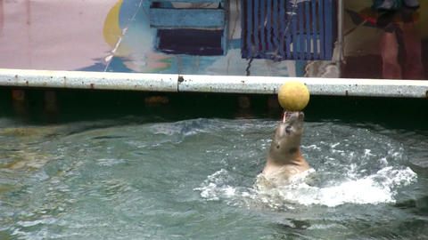 fur seal with ball Stock Video Footage