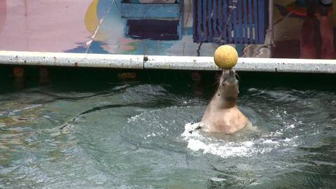 fur seal with ball Footage