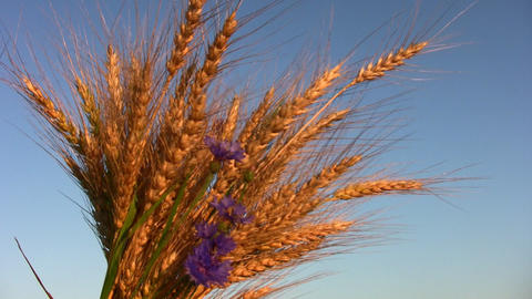 wheat bunch Stock Video Footage