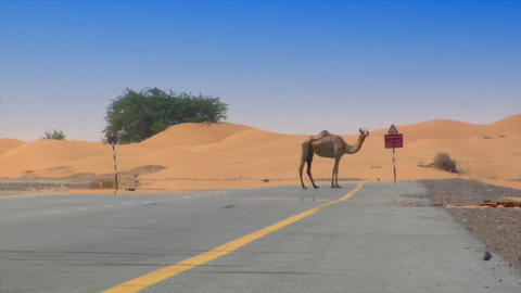 camel on desert street heat haze Footage