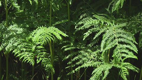 Ferns Footage