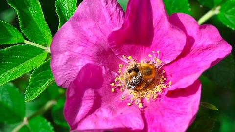 Working bumblebee Footage