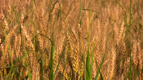 wheat field Stock Video Footage