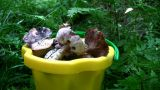 Mushrooms In Bucket stock footage