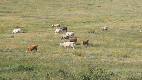 Cows Pasturing In The Steppe 02 stock footage