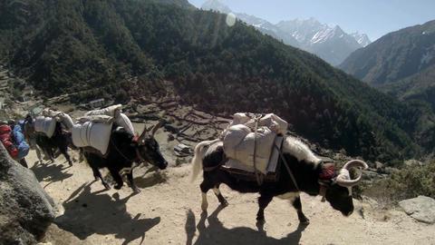 HIMALAYAS, NEPAL - MARCH, 2014: Yaks on trail roun Footage